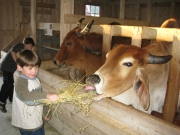 Child Feeding a Cow at the Farm Petting Zoo and Living Historic Museum in Door County, WI