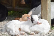 Two Baby Goats Cuddling / Snuggling at the Farm in Door County, WI