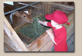 Child feeding a calf